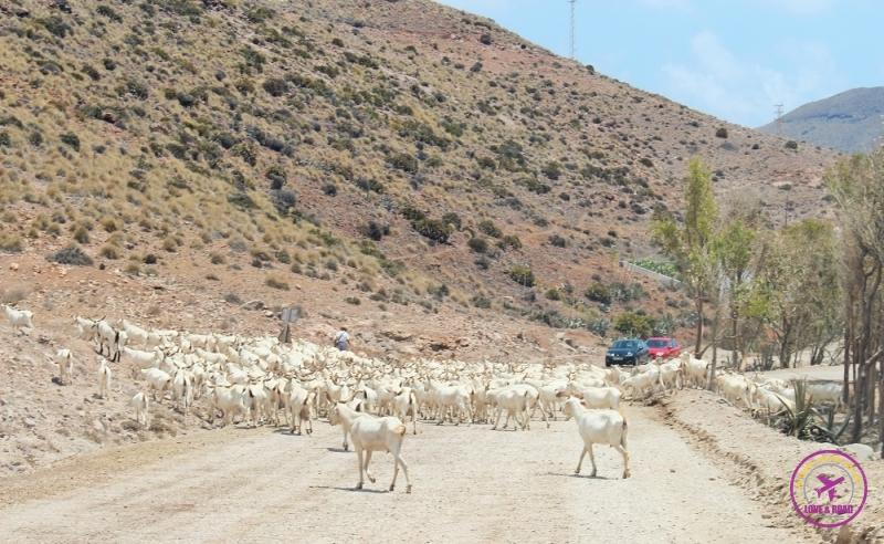 Cabras cruzando a estrada no caminho do Parque Natural Cabo de Gata-Níjar.