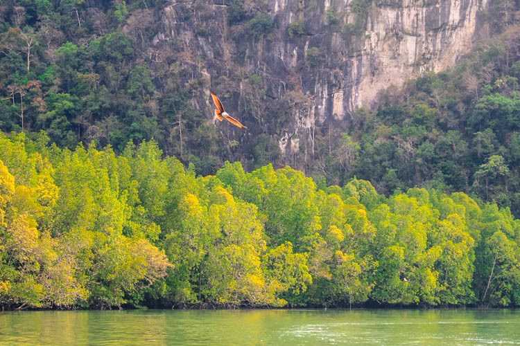 The Brown Eagle is the symbol of Langkawi! You can watch them flying when visiting the mangrove park, one of the top things to do in Langkawi, Malaysia.