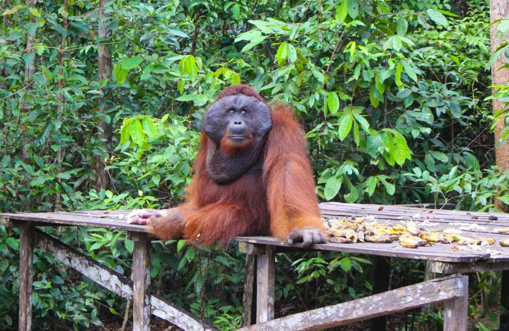 Tanjung Punting National Park, get close to the Orangutans in Borneo, Indonesia