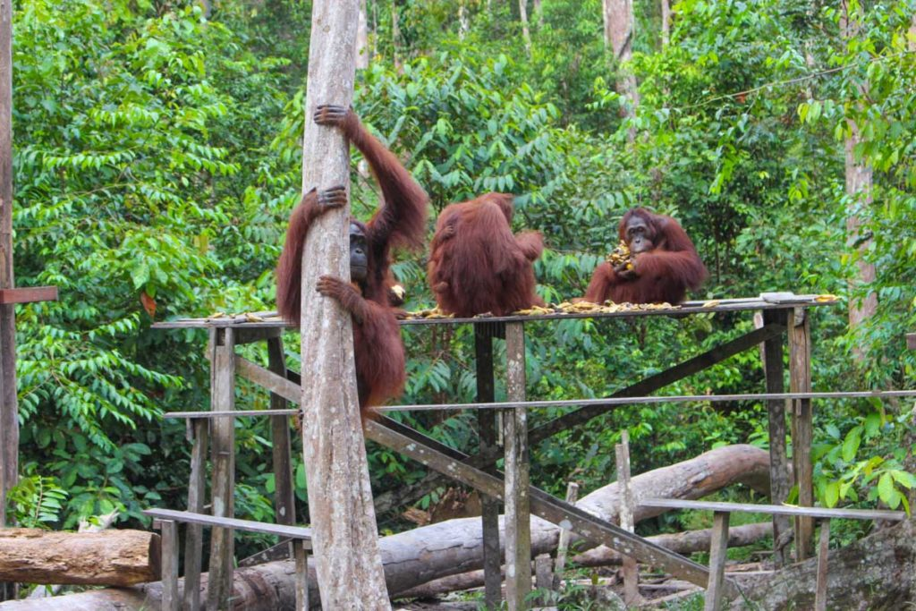 Camp Leakey is the biggest and the most famous camp in Tanjung Puting National Park in Borneo, Indonesia.
