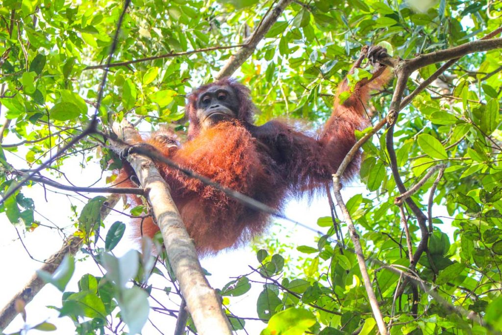 At the Tanjung Puting National Park you can get close to wild and semi-wild Borneo Orangutan. Trek through the jungle and spot them in the wild.