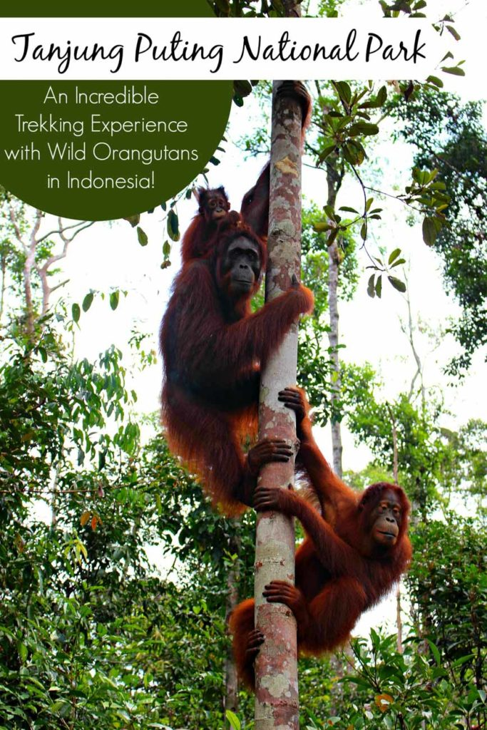 Tanjung Puting National Park - An Incredible Trekking Experience with Wild Orangutans! All you need to know to travel to Borneo, Indonesia. How to choose a responsible tour for trekking and cruising the Tanjung Puting National Park, and how to visit the Orangutan Foundation.