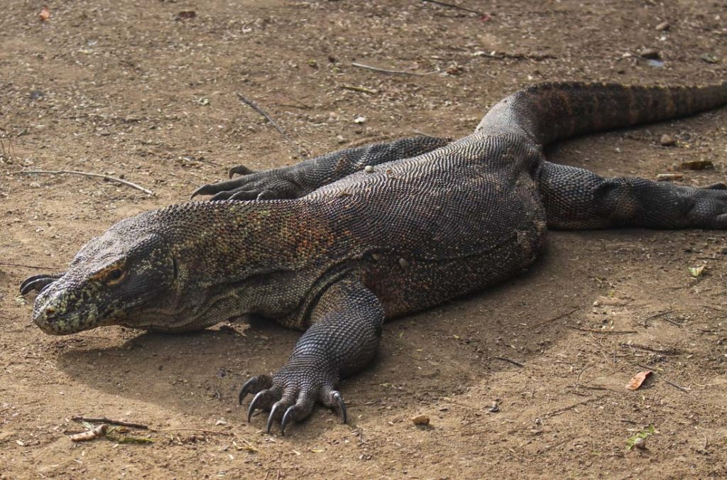 On our trip to Komodo island we spot many dragons, this one was in Rinca island.