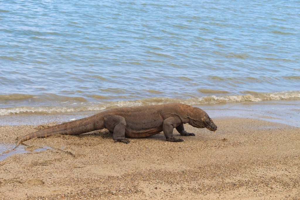 This was the biggest Komodo dragon we saw during our Trip to Komodo Island