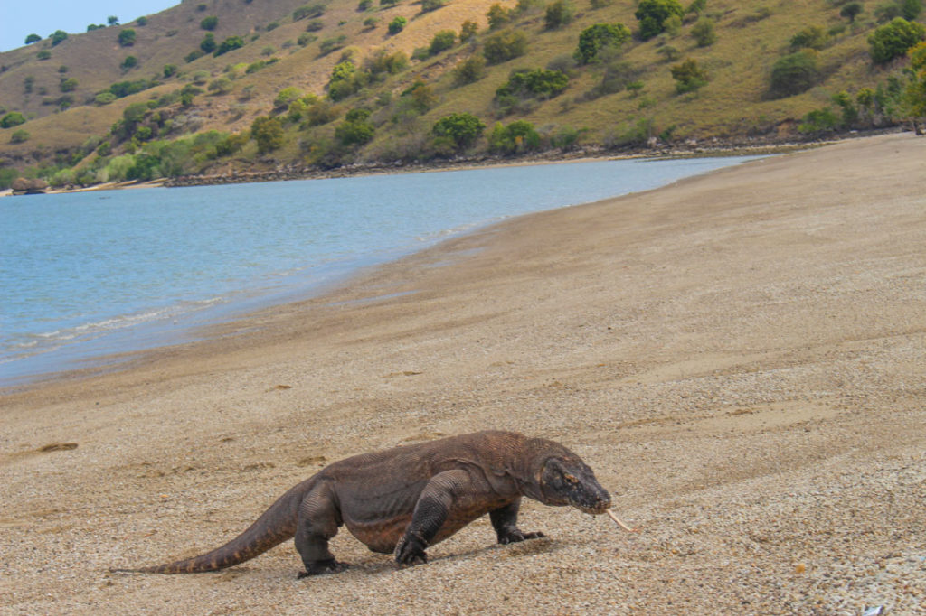 A dragon on a beach? Another reason for a Trip to Komodo Island