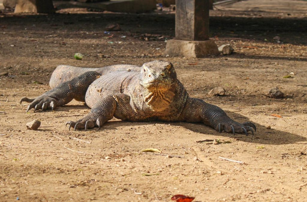 Komodo dragons can reach up to 3 meters! The dragons were the main reason of our trip to Komodo island.