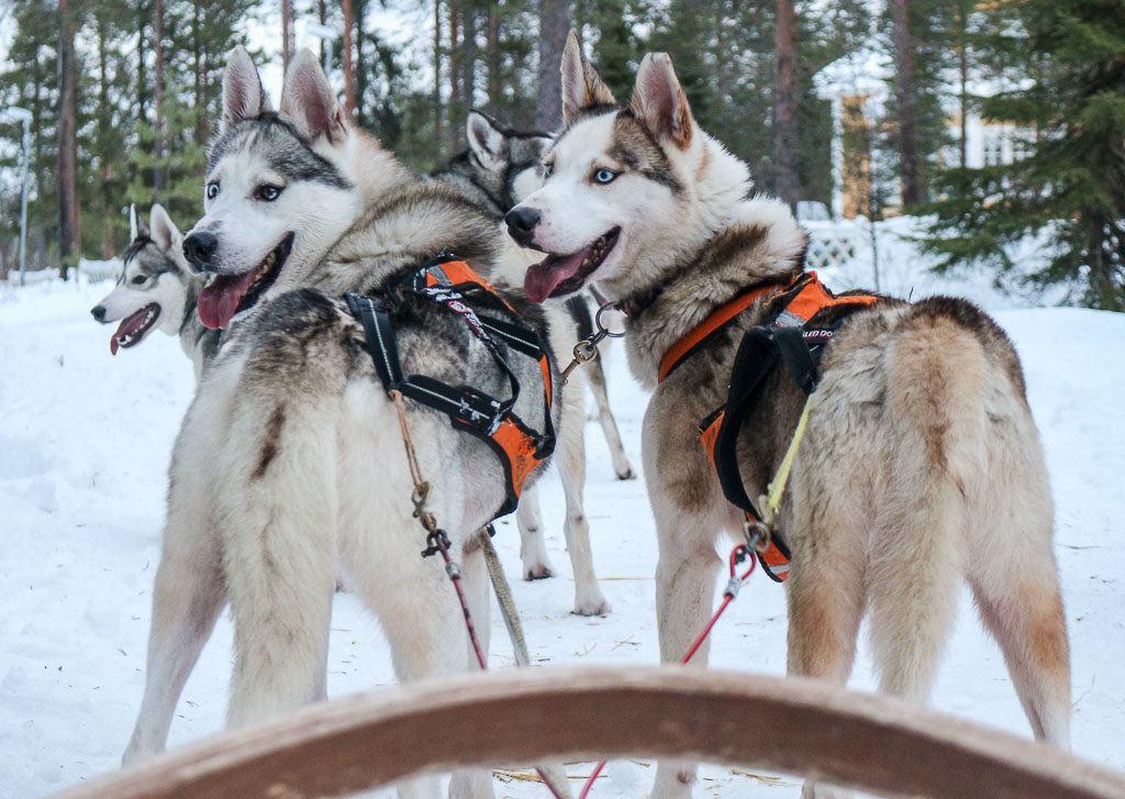 Visitar uma fazenda de Husky é incrível, uma das atividades mais legais para se fazer em Rovaniemi na Finlândia.