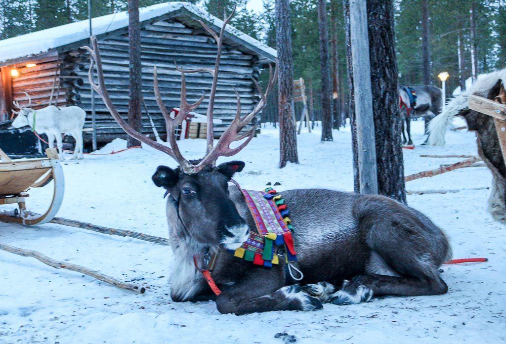 No seu roteiro de viagem para Rovaniemi na Finlândia não pode faltar uma visita a fazenda de renas.