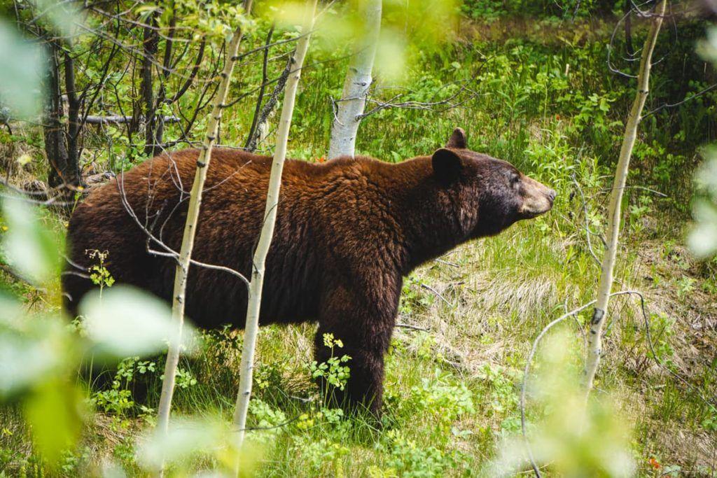 Urso na natureza selvagem em um dos parques nacionais nas Montanhas Rochosas do Canadá.