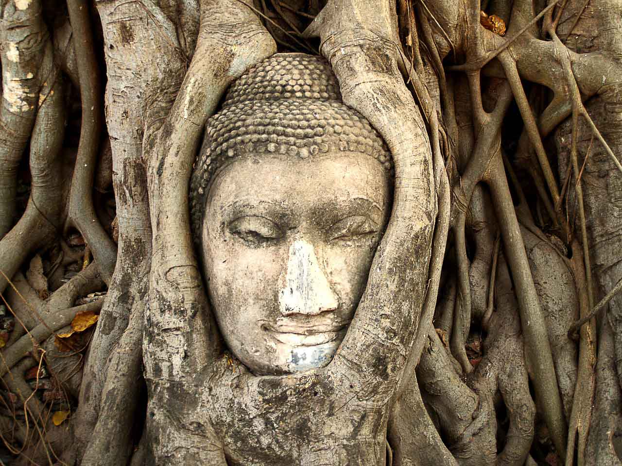 The best day tour to Ayutthaya must have a stop yo see the head of Buddha wrapped in a Bodhi tree.